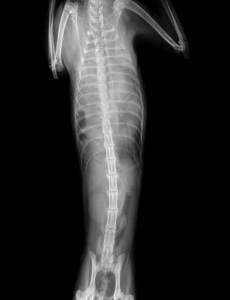 横隔膜 ヘルニア 猫